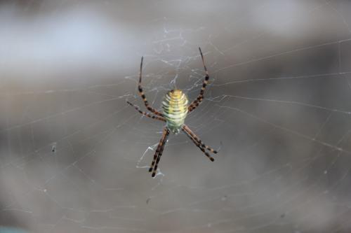 Ann Arbor Food Garden Spider